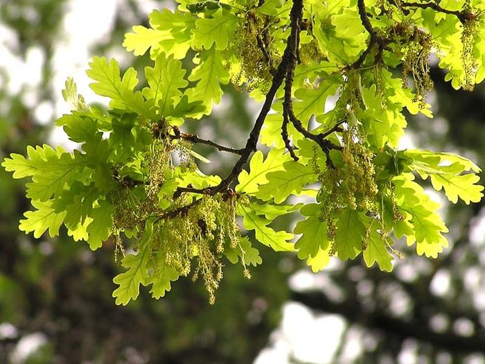 листья дубф