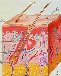 схема кожи