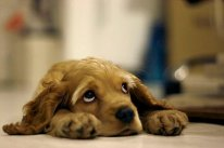 леж собака