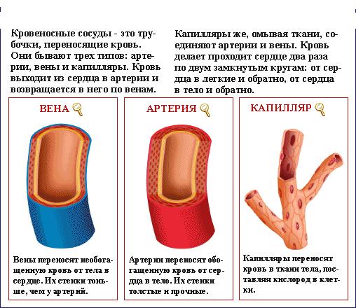 кров сосуды