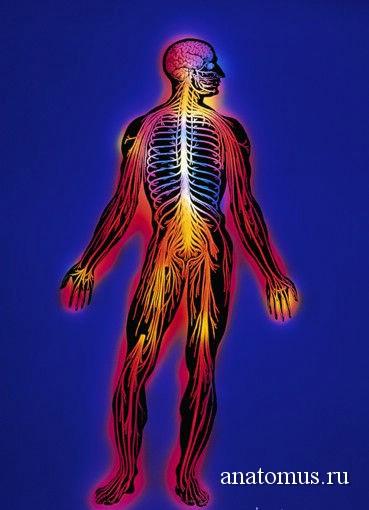 нервн система